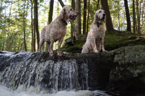Ducky, left, and Vicky cool their paws on a stream at Robinson Woods in Cape Elizabeth, Maine, during one of our many walks there.