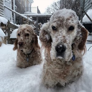 Vicky, right, was very unhappy with the first Jan. 27 blizzard of 2015 here in Portland, Maine. She fell down the stairs face first into the snow. Ducky was more ho-hum about the whole thing.