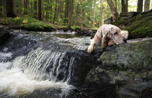 Vicky was overheated from our walk and decided to talk a brief nap on the waterfall's edge during our walk on Sept. 1, 2014, at Robinson Woods in Cape Elizabeth, Maine.